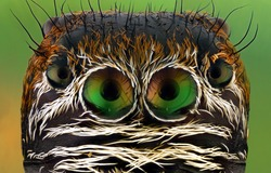 Evarcha arcuata Head Jumping Spider Macro Shot