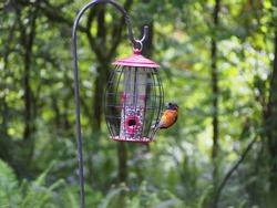 Evening Grosbeak feeding at a bird feeder