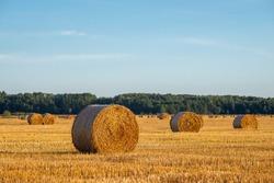 Evening landscape of straw bales after the harvest of rye. Rural landscape