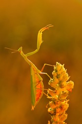 Evening light with insect. Mantis on flower, Mantis religiosa, beautiful evening sun, Czech republic. Wildlife scene from spring nature. Funny image from nature.