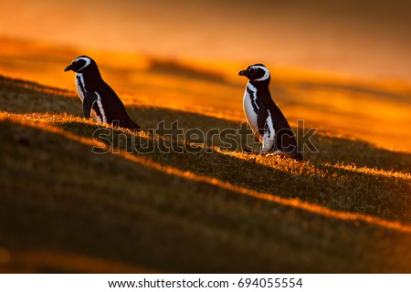 Evening light with penguins. Birds with orange sunset. Pair of beautiful Magellan penguins with sun light during sunset, Antarctica.
