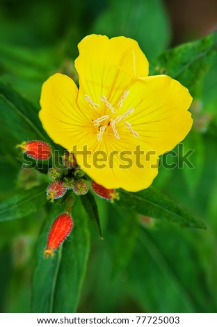 Evening primrose (Oenothera biennis) . Close up of one flower on green background