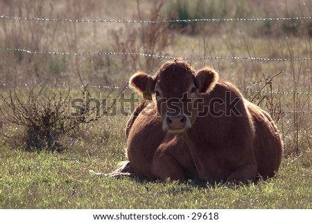 Evening Rest: Resting cow in Yukon, Oklahoma