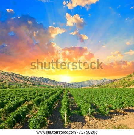 evening scene on a vineyard