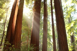 Evening sun light in Muir Woods National Monument, California. USA