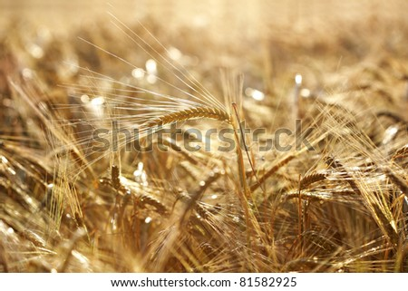 Evening sun streaming through a golden wheat field