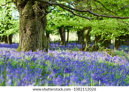 Evening sunlight illuminates the mass of Bluebells in a local beech and Oak deciduous woodland in Nottinghamshire,UK.
