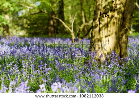 Evening sunlight illuminates the mass of Bluebells in a local beech and Oak deciduous woodland in Nottinghamshire,UK. #1082112038