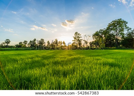 Evening Sunset over the Green rice paddy fields.  #542867383