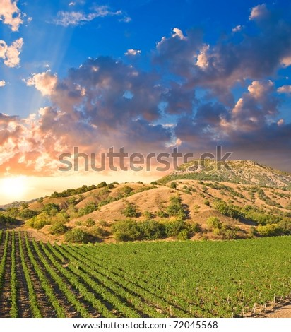 evening vineyard