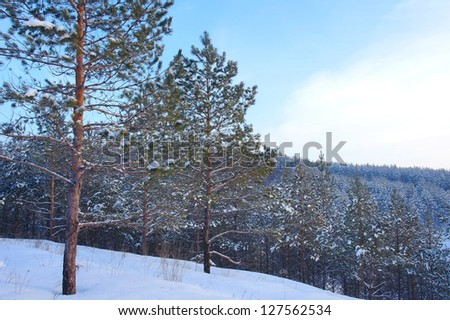 Evening winter landscape in forest with pines on the mountains