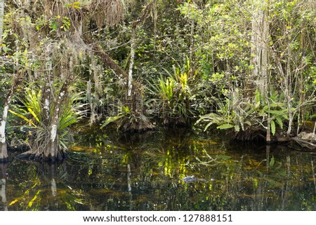 Everglades: Big Cypress Swamp, overgrown swamp cypress trees and epiphytes