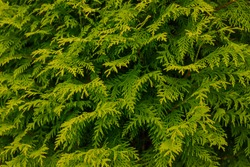 Evergreen background, fresh summer cypress leaves. Green leaves background.Texture of cypress branch.Macro cypress & cedar seeds background pattern. Conifer cedar thuja leaf green texture