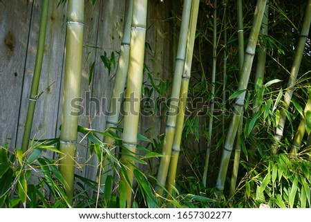 Evergreen Bambusa plant with golden bamboo stem and green leaves on wooden background close up. Also known as Common bamboo. Zdjęcia stock ©