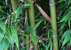 Evergreen Bambusa plants  with golden bamboo stem and green leaves close up. Also known as Common bamboo.