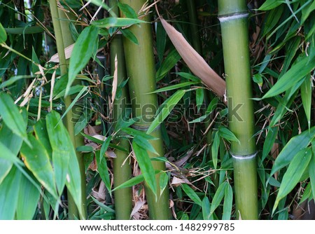 Evergreen Bambusa plants  with golden bamboo stem and green leaves close up. Also known as Common bamboo. Zdjęcia stock ©