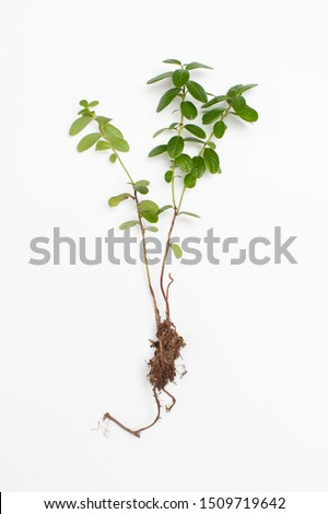 Evergreen boxwood (Buxus sempervirens) is used for heart disease, hypertension in herbal medicine. Top view. #1509719642