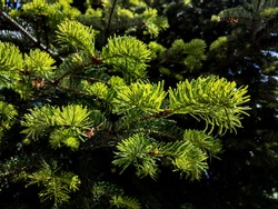 Evergreen conifer tree branches with new needle buds in spring closeup. Vivid colored image of fir tree branches at the budburst moment. Beautiful regrowth process of conifers in spring.