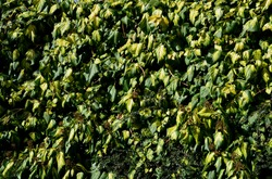 evergreen creeper, dark green leaf with a yellow center. Older leaves are larger and more rounded. vines with sticky roots, which the plant is able to hold on various surfaces brick wall, plaster