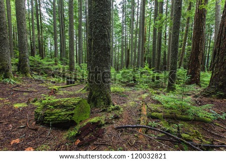 Evergreen damp forest floor