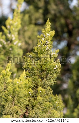 Evergreen evergreen cypress #1267761142