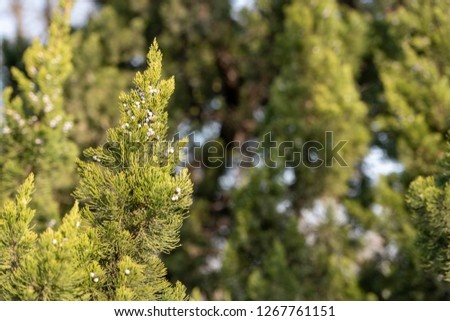 Evergreen evergreen cypress #1267761151