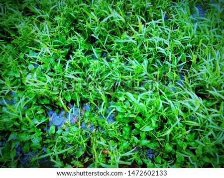 Evergreen evergreen evergreen grass of india #1472602133