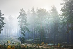 Evergreen forest at sunrise, fir trees close-up. Morning fog. Sunlight flowing through the trunks. Moss, lichen and other plants on the ground. Idyllic landscape. Environmental conservation in Finland