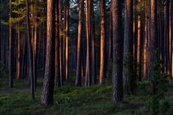 Evergreen forest at sunset. Sun rays through the pine tree trunks. Latvia