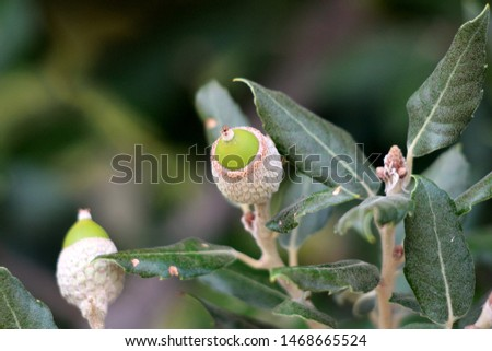 Evergreen oak or Quercus ilex or Holly oak or Holm oak evergreen oak tree branch with young light green shoots clothed with a close grey felt surrounded with dark green leathery leaves #1468665524