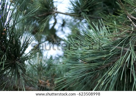 Evergreen pine needle clusters