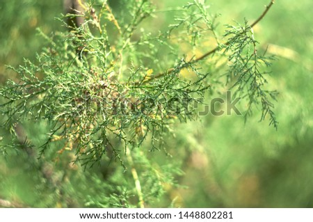 Evergreen plant. Branches of an evergreen bush #1448802281