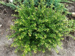Evergreen round spherical Ilex crenata Convexa or Japanese Holly shrub with small glossy leaves on the background of a bed with coniferous creeping junipers