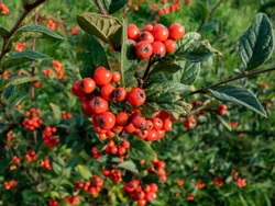 Evergreen shrub Orange cotoneaster (Cotoneaster franchetii) branches full of ripe fruits with green vegetation background