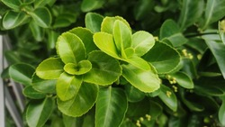 Evergreen spindle. Four seasons always green perennial tree