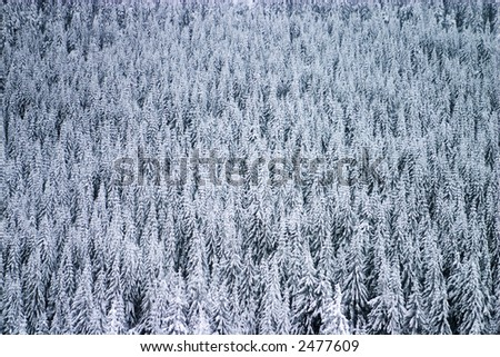 Evergreen tree forest texture in winter