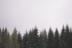 Evergreen tree tops