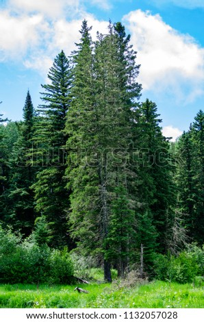 Evergreen Trees at Duck Mountain Provincial Park, Manitoba, Canada #1132057028