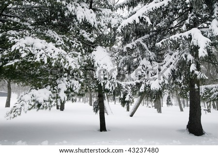 evergreen trees with snow