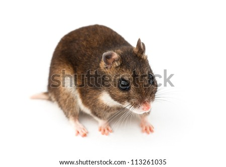 Eversmann's hamster against a white background
