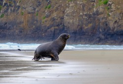 Everywhere is runway- Sandfly Bay, Dunedin, NZ
