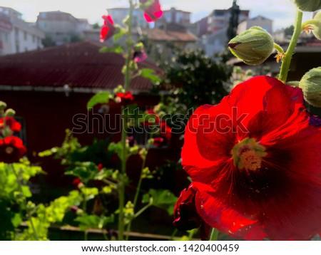 evin arkasındaki muhteşem harika gül Stok fotoğraf ©