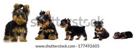 evolution a Yorkshire Terrier #177492605