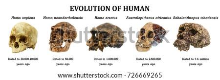 Evolution of human skull ( Sahelanthropus tchadensis . Australopithecus africanus . Homo erectus . Homo neanderthalensis . Homo sapiens ) .