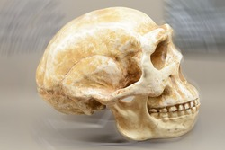 evolution of man: Homo erectus'  skull