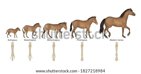 Evolution oh the horse over the past 55 million years Foto stock ©