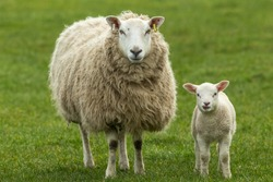 Ewe, a female sheep with her young lamb, both facing forward in green meadow. Lamb has her tongue out. Concept: a mother's love.  Landscape, Horizontal. Space for copy. Yorkshire Dales. UK