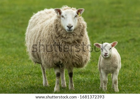 Photo of  Ewe, a female sheep with her young lamb, both facing forward in green meadow. Lamb has her tongue out. Concept: a mother's love.  Landscape, Horizontal. Space for copy. Yorkshire Dales. UK
