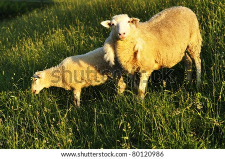 Ewe and lamb, Grazing sheep in Evening Light, family farm, Webster County, West Virginia, USA