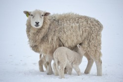 Ewe and Lamb in Winter